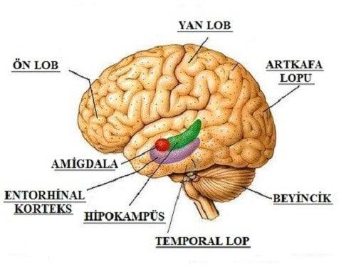 imagen que muestra diferentes partes del cerebro.