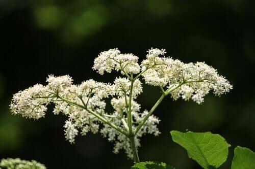 yüz nevraljisi tedavisinde bitkiler