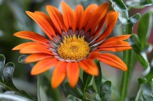 Koyun gözü çiçeği olarak da bilinen gazanya çiçeği.