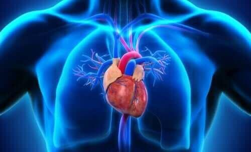 kalbin bölümlerini gösteren renkli görsel