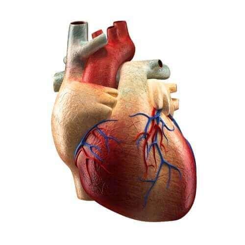 Kalbin Bölümleri ve Bu Bölümlerin Görevleri