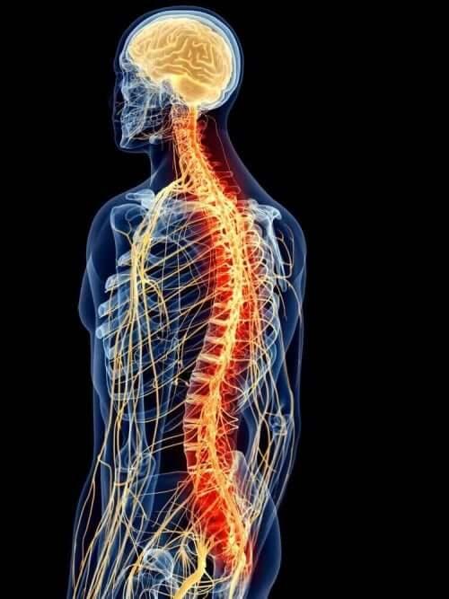 sırt kaslarının anatomisi: omurga figürü