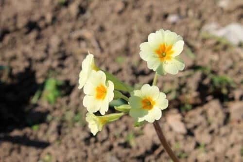 Tarla karanfili adlı çiçek.