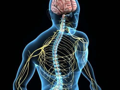 İnsan sinir sistemini gösteren bir illüstrasyon.
