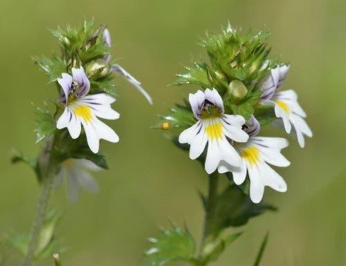 Arpacık tedavisinde kullanılabilecek bir bitki olan göz otu.