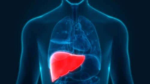 Kırmızı ile gösterilen bir karaciğer.