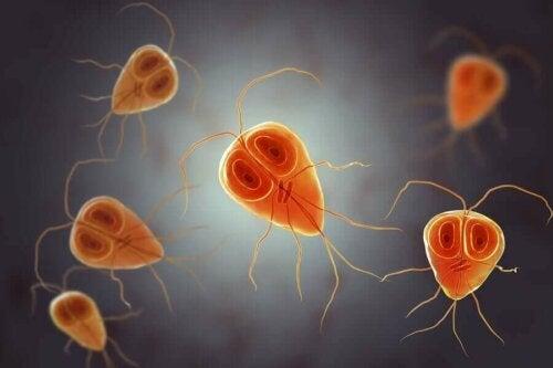 Giyardiya protozoa mikroskobik görüntüsü