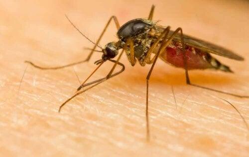 Bir kişiyi ısırmış olan bir sivrisinek.