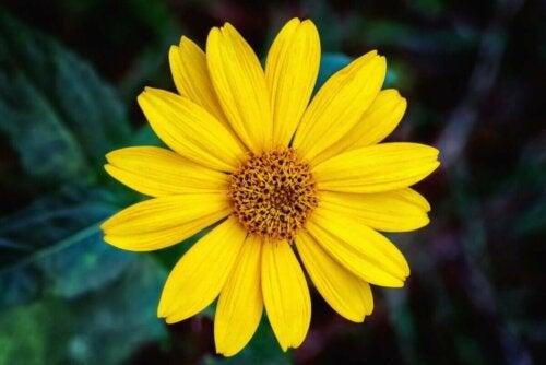 sarı renkli dağ kestanesi çiçeği