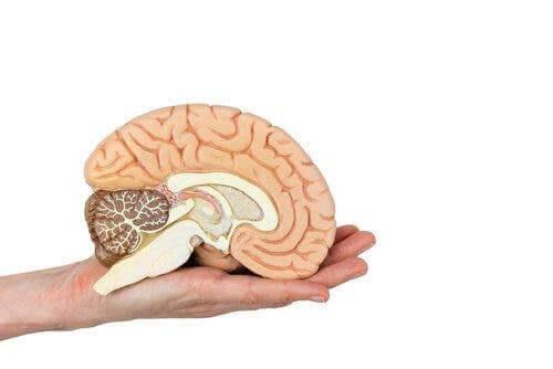 Elinde bir beyin modeli tutan bir kişi.