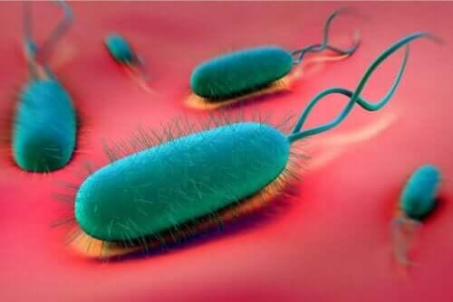 H. pilori bakterisi
