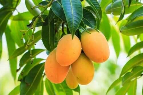 Ağacın üzerinde duran mangolar.