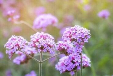 Mine Çiçeği: Tanımı, Özellikleri ve Kullanımları