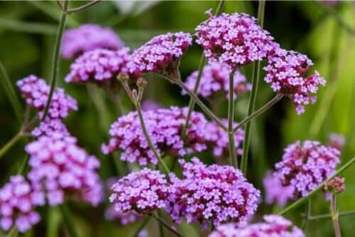 Bir bahçede gölgede duran bir mine çiçeği.