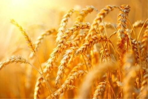 buğday tarlası