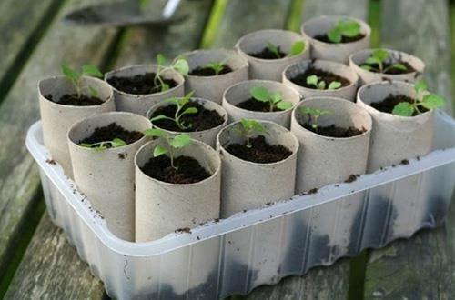 Tuvalet kağıdı rulolarına dikilmiş bitkiler.