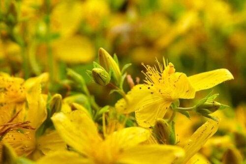 Sarı kantaron bitkisi.