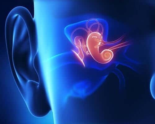 kulak iç yapı
