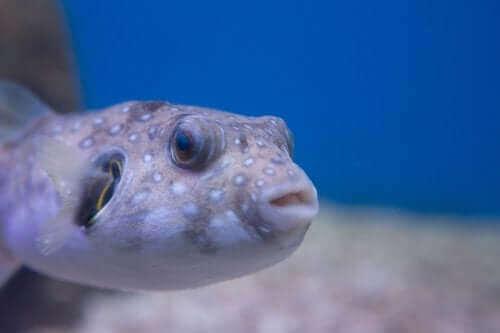 kirpi balığı