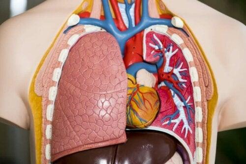 Akciğerlerin görünebildiği plastik bir vücut modeli.