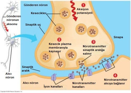 sinaps görsel