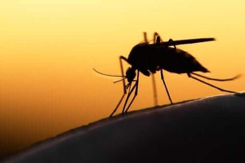 sivrisinek yakın plan