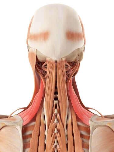 Boyun Anatomisi: Kemikler ve Kıkırdak