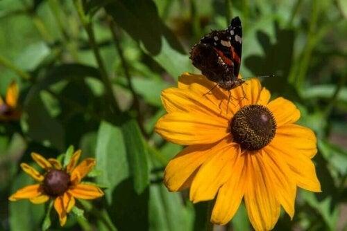 Sarı yapraklı koni çiçeğinin üzerine bir kelebek konmuş.