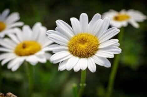 Ortası sarı,yaprakları beyaz bir kasımpatı